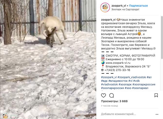 Леопард Милаша и овчарка Эльза. Фото Скриншот Instagram: zoopark_vl