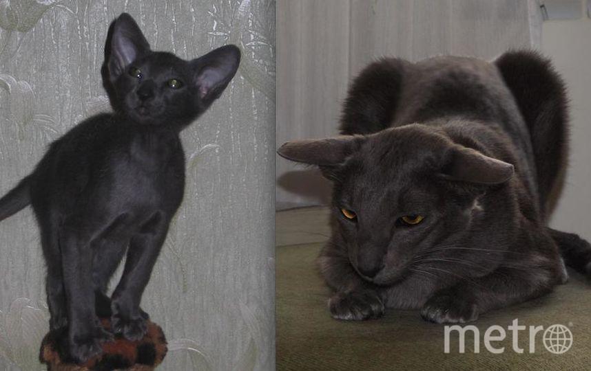 """Спешу представить фотографии своей кошки (порода - ориенталка) по имени Дамиана Эста Дольче Вита, """"в миру"""" - Дэми. Сейчас ей уже 7 лет, на фотографиях (которые наиболее выразительны) Дэми 3 месяца и 3 года. В старшем возрасте она запечатлена на """"охоте"""" на """"мышку"""" - в такие моменты она очень забавно выгибает уши, прячась в засаде.. Фото Соколов Николай"""
