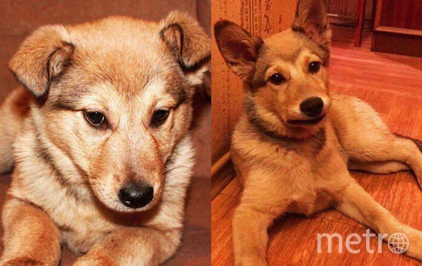 Меня зовут Роман, а мою собаку Лайза Миннелли 👍 Взял её двухмесячным щенком (всего в помёте их было аж 17) на первом фото, а вот на второй фотографии - в какого красивого маленького волчонка она выросла, сейчас ей уже год и 3 месяца!