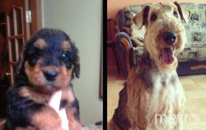 Это наша любимая наилюбимая собака Марго. На первом фото ей 1 месяц,а на втором 5 лет. В начале это был очень вредный маленький щенок,а сейчас послушная собака но с характером и со своим мнением. Она очень любит пищащие игрушки и покушать. Фото Мария
