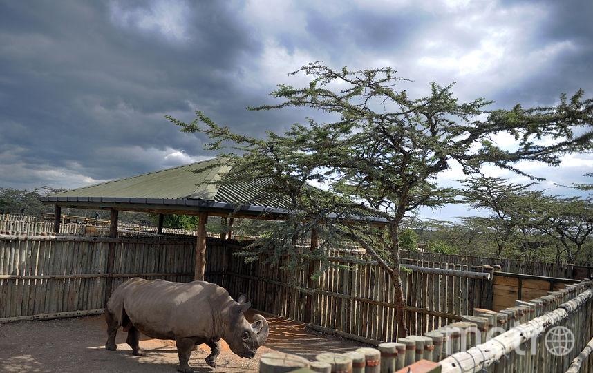 Северный белый носорог – подвид несколько крупнее южного. Вес этих животных достигал 4,5 тонн, длина – четырех метров. Фото AFP