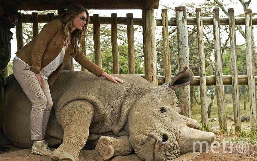 Представитель кенийского заповедника Ол Педжета Элоди Сампере отметил, что ученым удалось собрать генетический материал носорога. Ученые надеются, что смогут искусственно осеменить одну из двух оставшихся в мире самок подвида северного белого носорога. Фото AFP