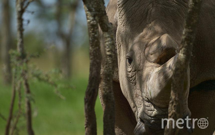 Носорог Судан. Фото AFP