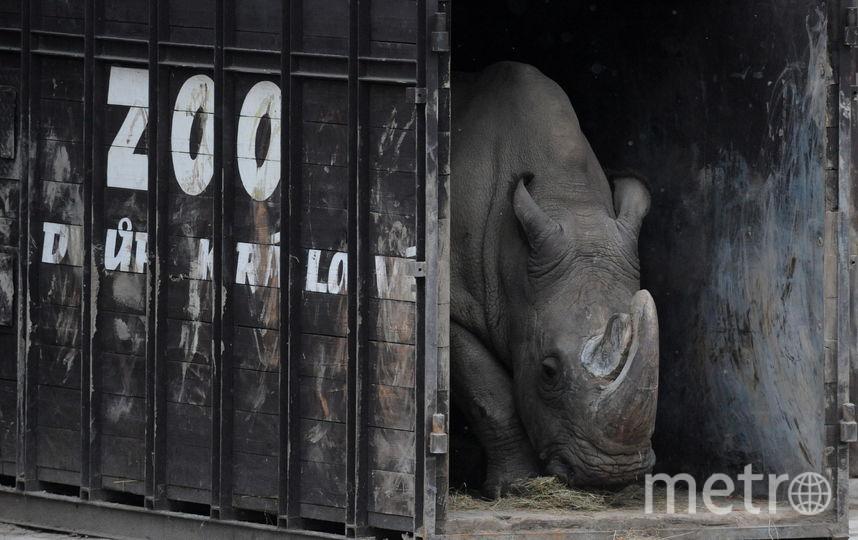 Носорог по кличке Судан давно страдал от заболеваний, сопутствующих его преклонному возрасту. Фото AFP