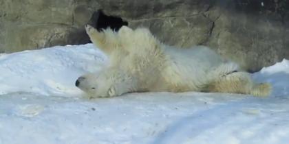 Медведица Мурма в восторге от затянувшейся зимы в Москве. Видео