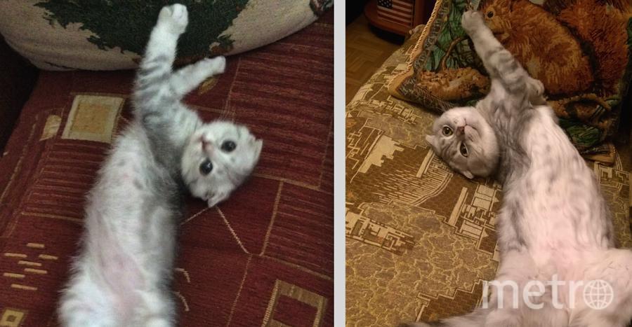 На фото - наш шотландский вислоухий кот Сева в 2 месяца и в 3 года. Необычные привычки и повадки Сева сохранил с детства, например, вальяжно лежать на спине, раскинув все 4 лапы. Фото Татьяна.