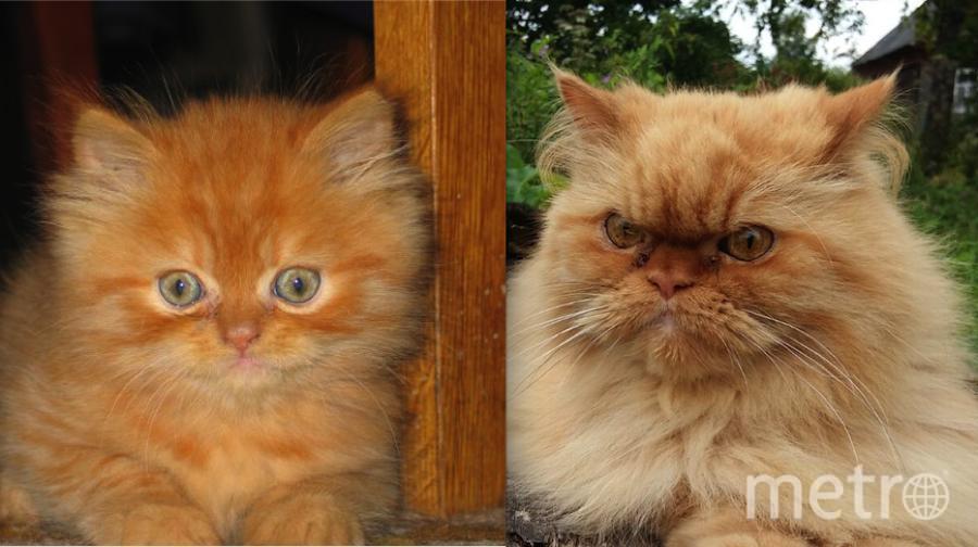 Наш любимец Матвей. На первом фото ему около двух месяцев. Из такого маленького и пушистого котенка он вырос в большого и серьезного кота! На втором фото ему уже 9 лет. Но не смотря на свой немного грозный вид, он добрый и милый. Фото Марина.