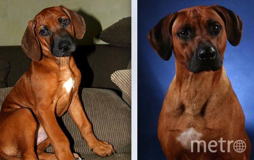 Это наш любимец - пёс породы родезийский риджбек Джонник. На 1ом фото ему 3 месяца, на 2ом 3 года. Он спортсмен, чемпион по бегу за механическим зайцем. Сейчас ему уже 7,5 лет и в соревнованиях он не участвует, но тренируется для удовольствия. Фото Ольга