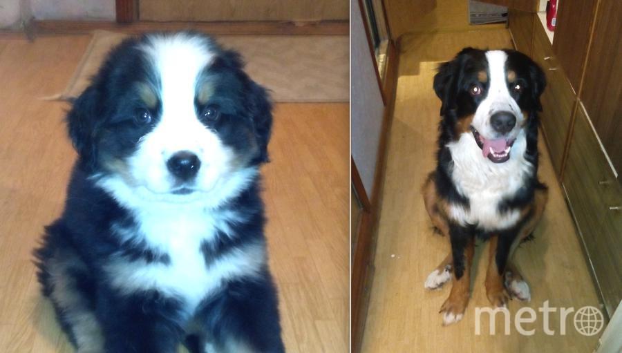 Это наш любимец - бернский зенненхунд Тим (Тёплый И Мягкий). Он добрый и игривый пёс. На фото ему 2 месяца и 1 год. Фото Екатерина