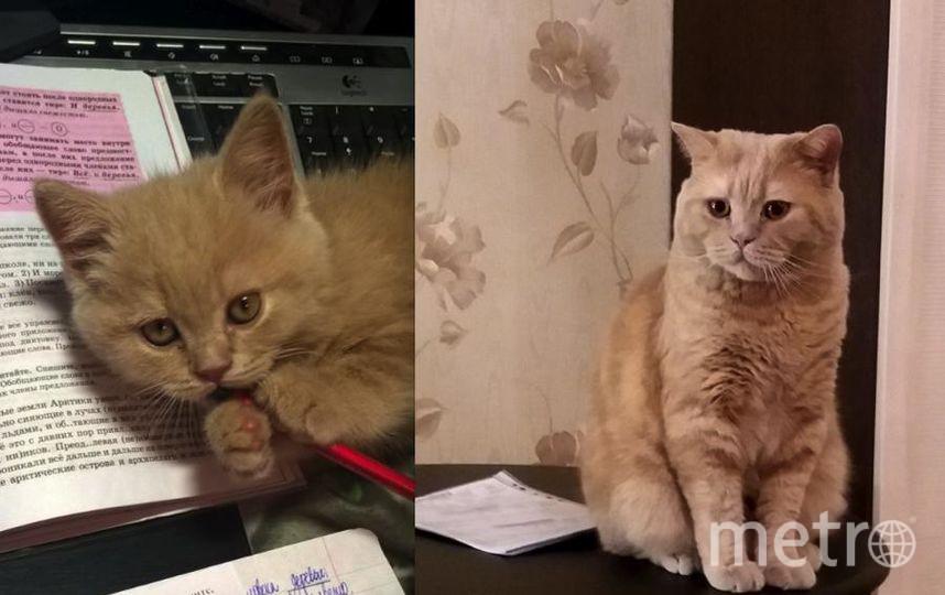 это наш любимец Рикки. Добрый,умный,красивый. На первом снимке ему 3 месяца, а на втором 2 года. Фото Анастасия.