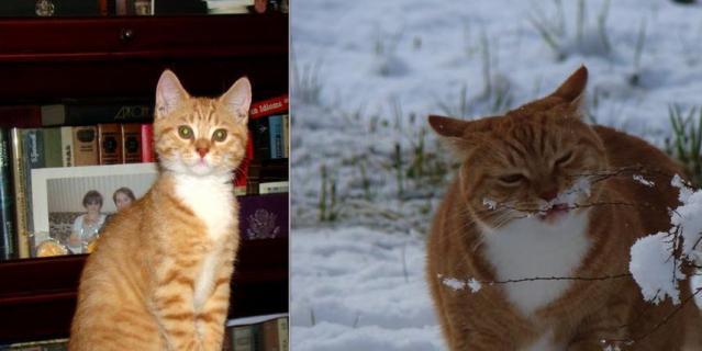 Чуть больше трех лет назад у нас в доме появился рыжий красавец, которого мы решили назвать Лорд - уж очень свысока он смотрел на окружающих. На фотографии ему 2 месяца и 28 дней. Это рыжее чудо росло-росло, и вот - что выросло, то выросло... Лорд, находясь на даче, впервые увидел снег, который в Питере неожиданно выпал в мае 2017 года. В мае 2017 года Лорду было 2 года и 4 месяца.