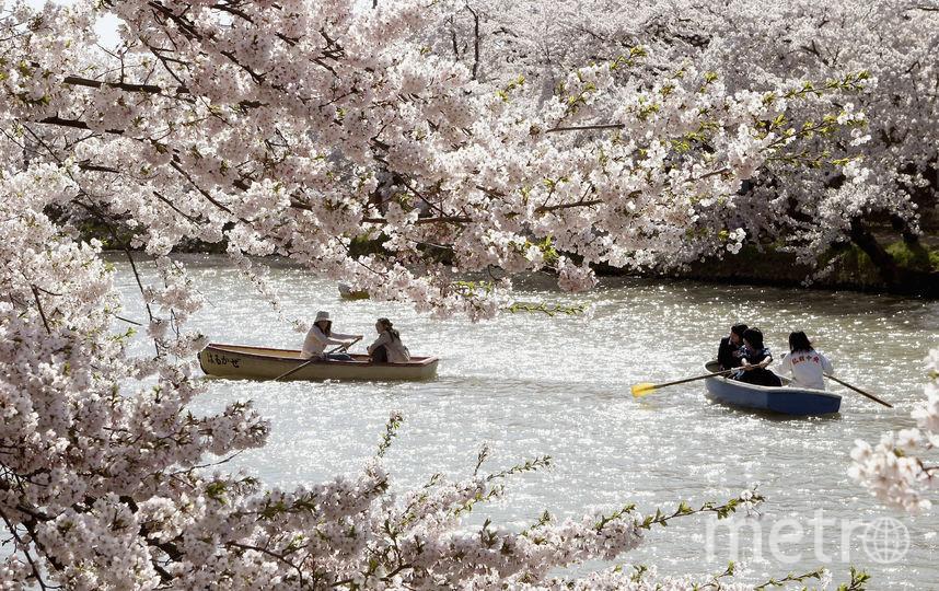 Сакура – национальный символ Японии. Фестиваль, посвященный любованию за ее цветением проходит в этой стране ежегодно. Этот период быстротечен, но его постоянно можно наблюдать в музеях. Фото Getty
