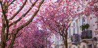 В Японии зацвела сакура. Фото