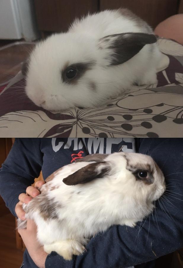 Вислоухий кролик (девочка) по кличке Барри На фото 3 недели. На втором фото 6 месяцев. Фото Ирина
