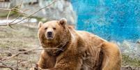 Медведь Андрюша в ростовском зоопарке почувствовал наступление весны