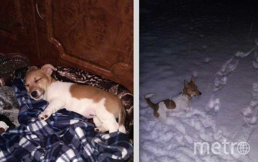 Это наша любимая девочка джек-рассел Ванила-Айс, дома просто Айза. На фото ей 4 месяца и 1 год 3 месяца. Более доброй и ласковой собаки нет на свете.