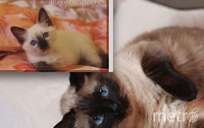фото нашего любимого кота Шермана. На первом фото ему 3 месяца,на втором фото 9 лет. В этом году у него юбилей 10 лет, в декабре. Очень любознательный и умный котик. В нашем доме все под его контролем. Фото Юлия