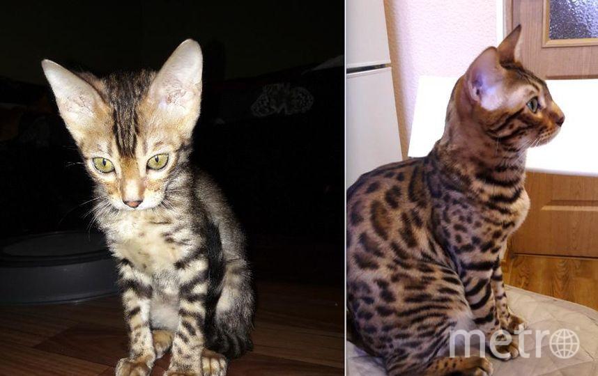 Это наш кот МАРИК, бенгальской породы. Домашний бандит и наш любимец. На первом фото ему 3 месяца, а на втором 1,5 года. Вот такой красавец растет у нас. Фото Зарина