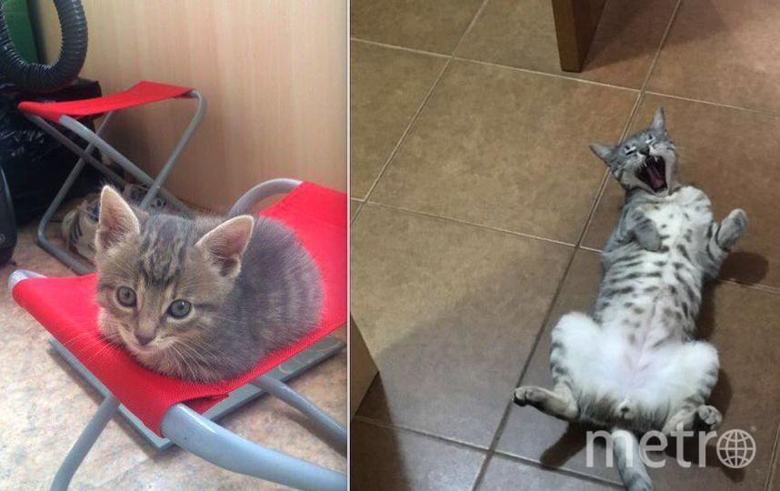 Это наш кот-бандит Тайсон. Мальчик, 19 июня ему исполняется 2 года. На первом фото ему 1,5 месяца (тогда он ещё был «Пуговка»), на втором фото-1 год 7 месяцев (теперь он полностью оправдывает своё имя). Хозяин дома, абсолютно самостоятельная личность и драчун, за что его и любим!.