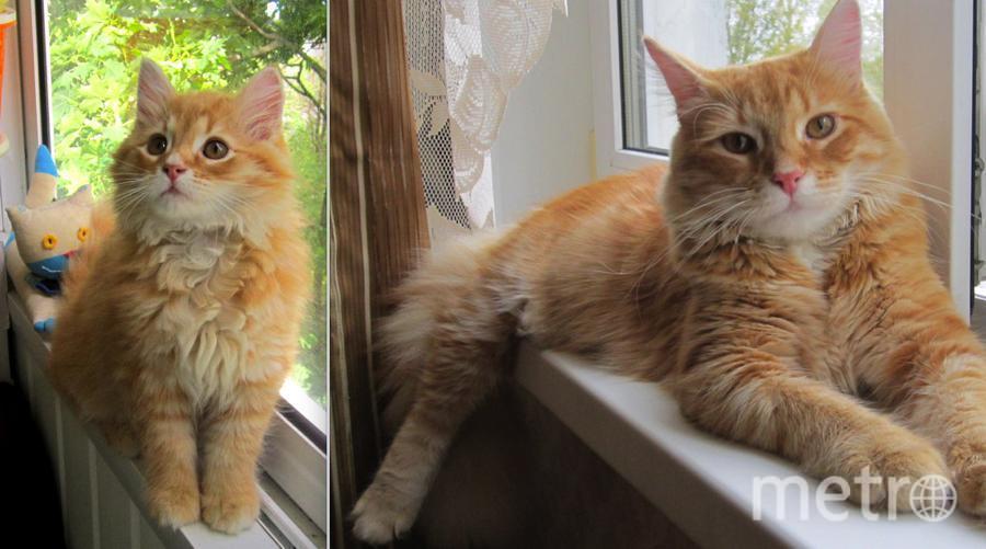Кот Мурзик. 1 фото-3мес. 2 фото - 2года. Очень хотела рыжего кота. Я даже прошла отбор из претендентов! Фото Надежда