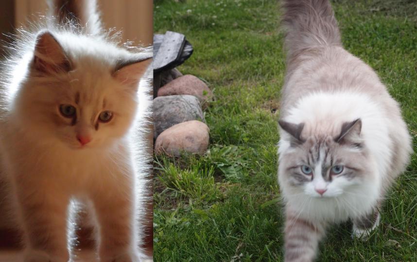 Кот Прайм. Это кот породы Невский Маскарадный,приехал к нам в Петербург из московского питомника. На первых фотографиях ему 3 месяца, сейчас ему уже 4 года. Очень добрый, ласковый, умный кот. Фото Анастасия