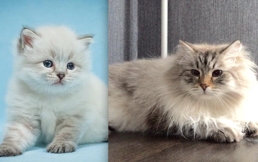 это наш любимец- кот Мики на одном из снимков ему 25 дней , на другом 5 лет. На даче большой охотник на птиц .У Мики замурчательный характер / его все любят и балуют. Фото Наталья