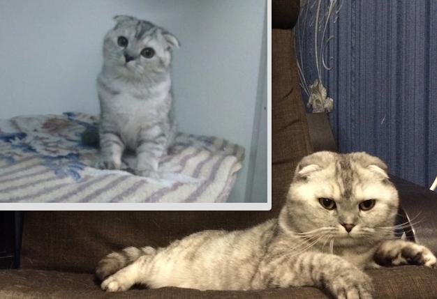 Наша невероятная кошка Снежанна! Ласковая, добрая и очень спокойная. Грация и гордость- это все о ней! На первом фото 1,5 мес, на втором 3 года. Фото Светлана Локтева.
