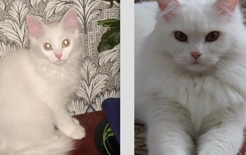 Наш любимец Кузя.Нам его подарили на счастье,в год Белого кота.Сейчас ему семь лет. Мы действительно очень рады,что в нашей семье появилось такое белоснежное счастье.Характер у Кузи гордый и независимый.Не любит нежностей.На первом фото ему 4 месяца,на втором 5 лет. Фото Ольга Чайка