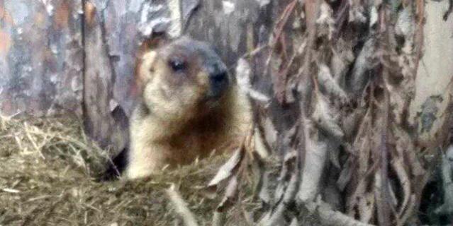 Сурки вЛенинградском зоопарке вышли изспячки— Весна пришла