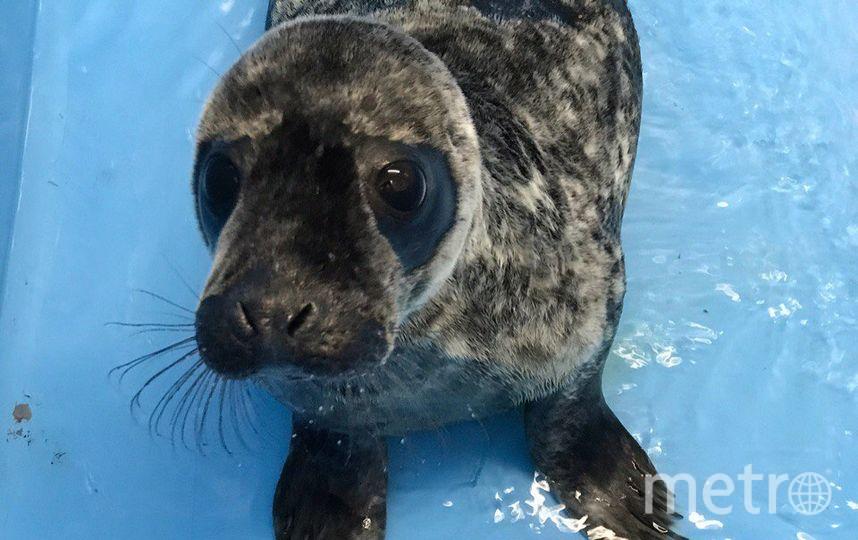 Спасенный петербуржцами нерпёнок Гоглик начал линять и толстеть: Фото. Фото Спасение тюленей 699-23-99, vk.com