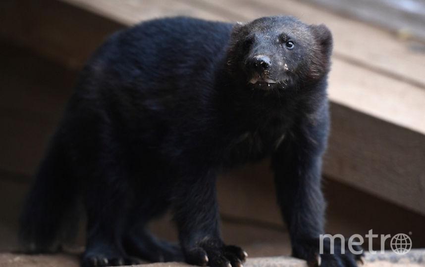 Детёныш росомахи родился в Московском зоопарке. Фото РИА Новости