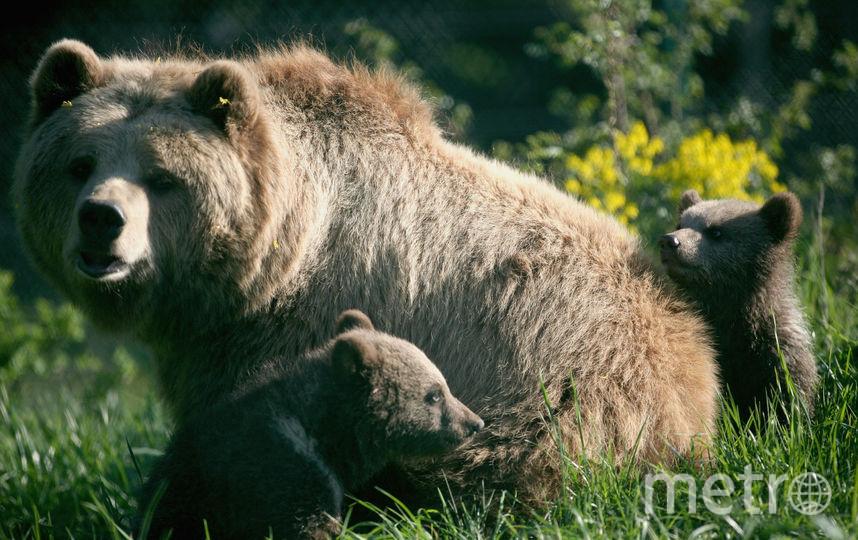 Медведица и медвежата. Фото Getty