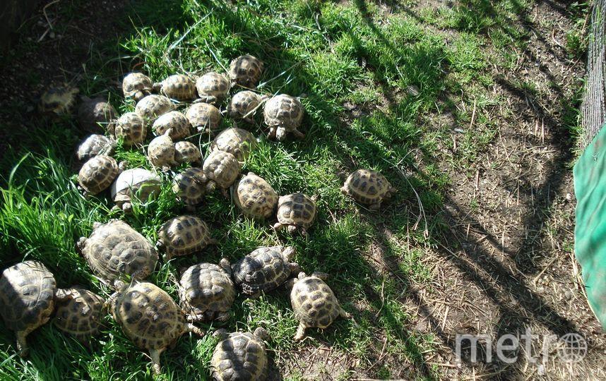 60 черепах теперь живут в Утришском заповеднике. Фото предоставлено активистами
