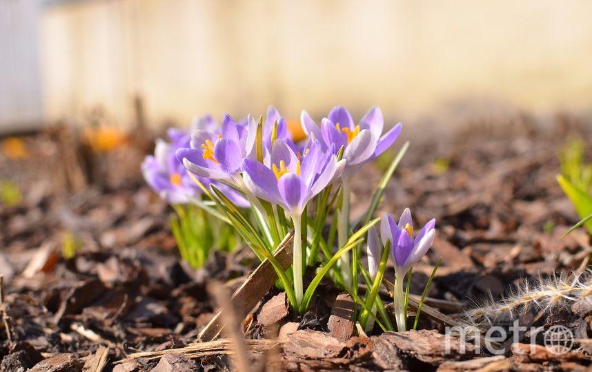 Первые цветы распустились 5 апреля. Фото vk.com/botsad_spb, vk.com