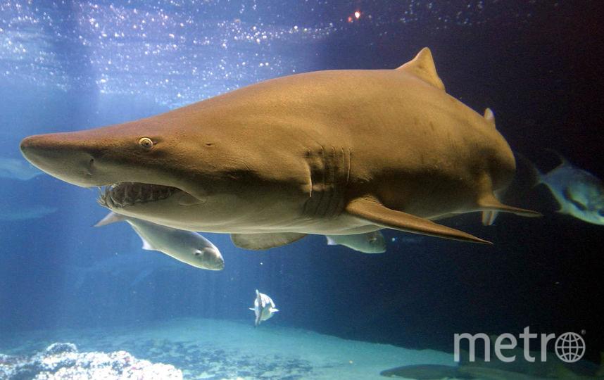 Акула. Фото Getty