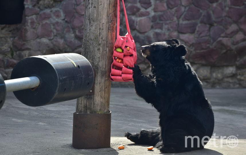 Гималайский медведь. Фото Василий Кузьмичёнок