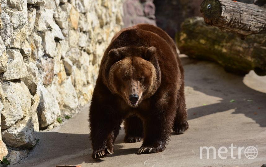 Камчатский бурый медведь. Фото Василий Кузьмичёнок