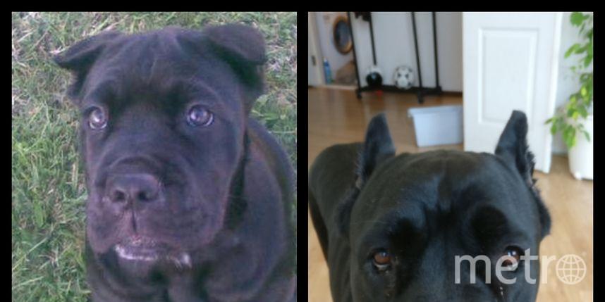 На снимках моя собака породы Кане Корсо по кличке Маргарита. 1 снимок возраст 3 месяца, 2 снимок- 6 лет. Очень добрая собака, которая любит много целоваться. Надеюсь она Вам тоже понравилась. Фото Ольга