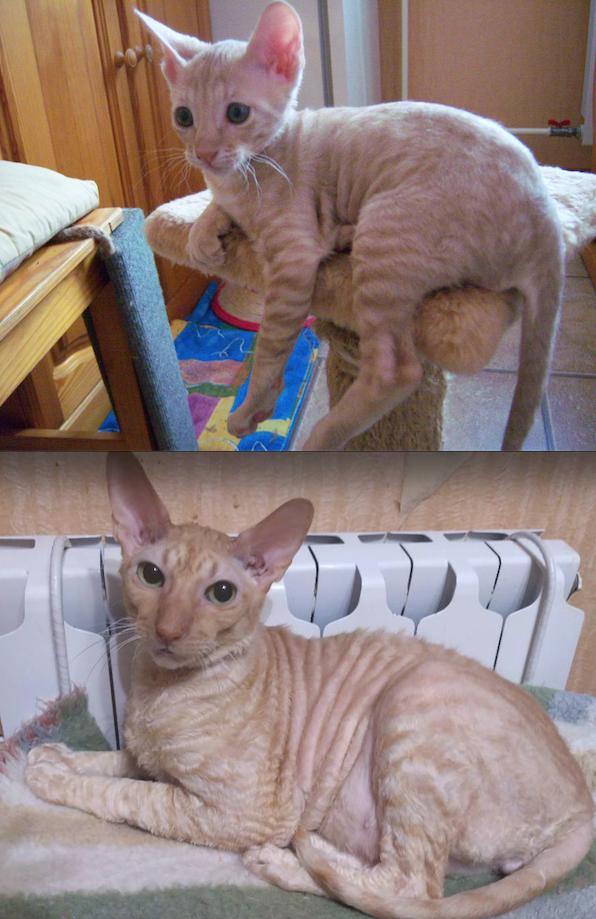 Наш семейный любимец - кот Анатолий, самый терпеливый на свете - никогда, за всю свою кошачью жизнь, никого не поцарапал, как бы к нему не приставали. Он - большой любимец маленьких детей. Они гладят его без опаски быть поцарапанными. Фото Василий
