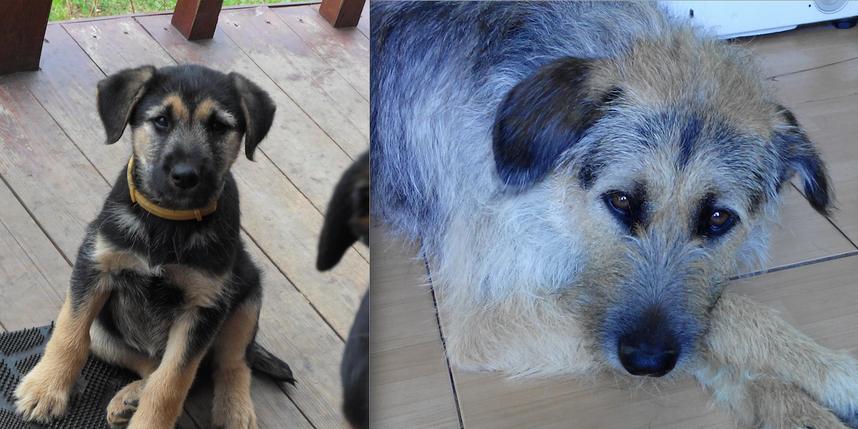 Мы заядлые любители собак, и этим пользуются наши деревенские соседи. Щенка (а мы думали, точно овчарка!) нам подбросили через забор. Назвали мы его Боби, оказался голубых кровей господин. Характер, манеры, и даже позы... Прилагаем фото Боби, когда ему было 4 месяца, и из последних---уже 6 лет. Фото Надежда