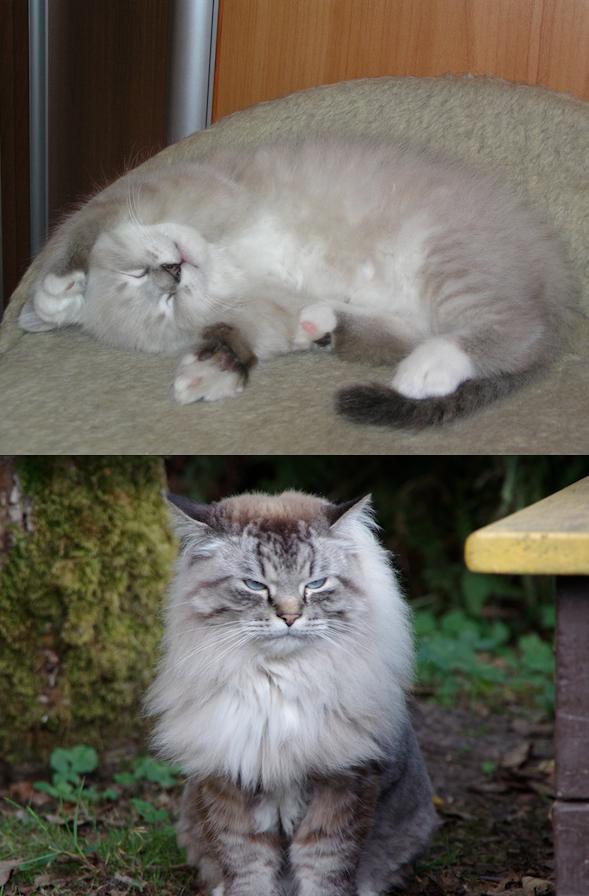 """Это любимый кот Френч. Имя свое он получил в честь французского маникюра, потому что у него на всех четырех лапках имеются симметричные и достаточно узкие белые отметины. Сейчас нашему голубоглазому пушистому красавцу уже 10 лет, на """"детских фото"""" ему 2 месяца (посылаю несколько фото на выбор, на последней - Френчик вместе с братиком, он слева; на второй слева фотке он подстрижен """"подо льва"""". Фото Татьяна"""