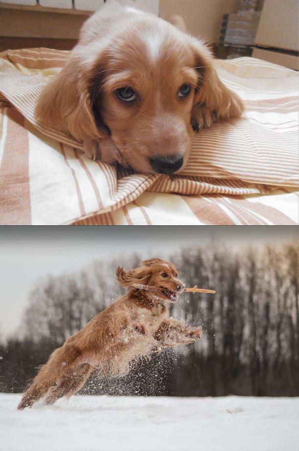 Возраст на фото: 3 месяца и 3 года Пёс Чарли необычайно активный, любит бегать за своими игрушками и палками на улице, он очень ласковый и любит обнимашки!! Фото Диана