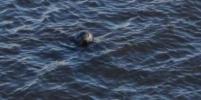 Бонни и Клайд: Две нерпы лишают рыбаков корюшки в Петербурге