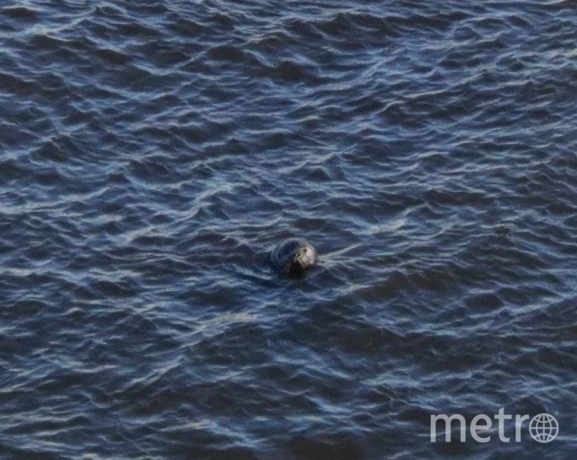 Нерпа приплыла в Петербург. Фото Спасение тюленей 699-23-99, vk.com