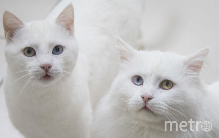 """Владельцы кошек на 40% меньше подвержены риску инфаркта, так как """"кошачьи"""" вибрации снижают артериальное давление. Фото Getty"""