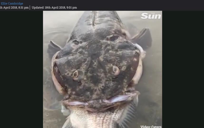 Жуткая рыба-монстр задохнулась при попытке съесть другую рыбу: Фото. Фото Скриншот The Sun