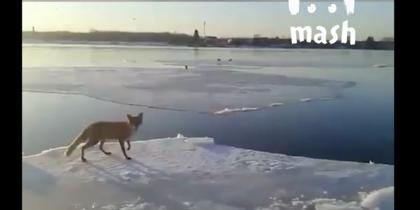 Мужчина на лодке спас лису с дрейфующей льдины в Ленобласти