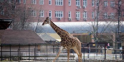 Жирафы в Московском зоопарке радуются приходу весны