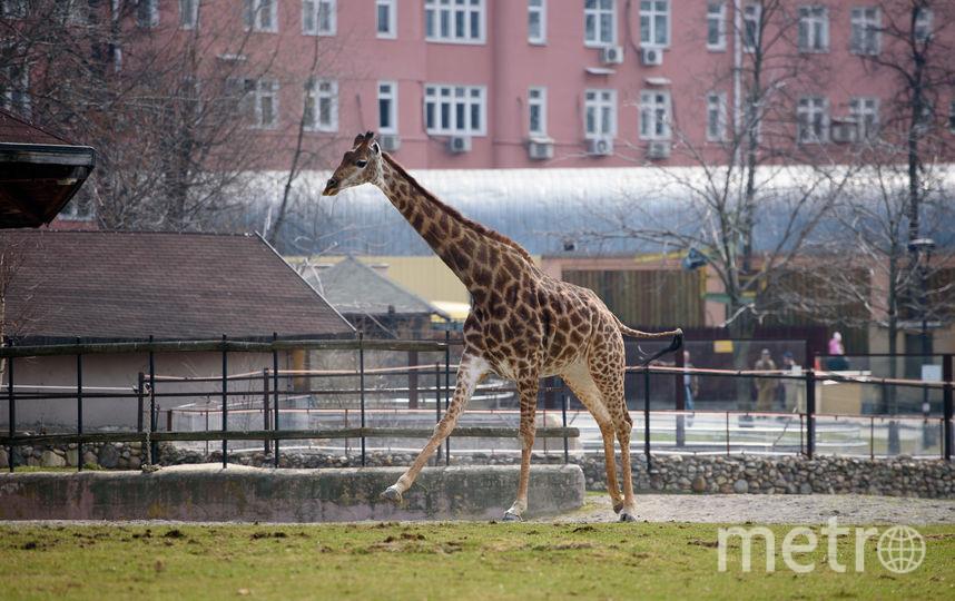 Жирафы в Московском зоопарке. Фото Василий Кузьмичёнок