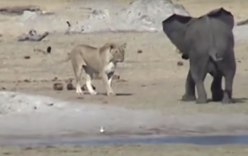 ВЗимбабве сняли навидео смертоносный бой слонёнка итрёх львов